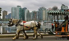 Driving Belgians along Coal Harbor,  Vancouver Waterfront (Alexander Den Ouden) Tags: vancouver waterfront o coalharbor drivingcarriage drivingbelgians
