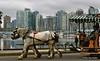 Driving Belgians along Coal Harbor,  Vancouver Waterfront (Alexander Den Ouden) Tags: vancouver waterfront o coalharbor drivingcarriage drivingbelgians