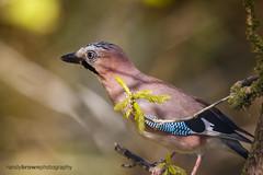 Jay (ABPhotosUK (Thanks for 600 followers)) Tags: birds animals canon jay wildlife devon crows nocrop teleconverter garrulusglandarius corvidae lydfordgorge ef14xextenderiii eos7dmarkii ef100400mmisii