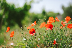 Poppies (Little wanderer) Tags: red sunlight nature countryside bokeh poppies marsala d610 50f14