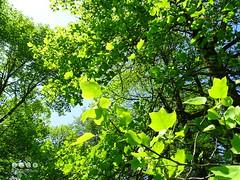 Tulpenbaum (Liriodendron tulipifera) - Ende Mai (warata) Tags: germany bayern deutschland pflanze liriodendrontulipifera baum allee schwaben 2016 tulpenbaum swabia sddeutschland memmingen southerngermany naturdenkmal oberschwaben upperswabia ferthofen schwbischesoberland