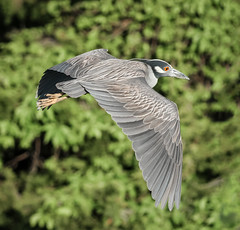 Yellow-crowned Night Heron (tresed47) Tags: heron birds us newjersey content places oceancity folder takenby 2016 yellowcrownednightheron peterscamera petersphotos canon7d 20160525newjerseybirds 201605may