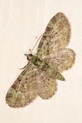 green pug (2) (postcardcv) Tags: macro green canon eos norfolk pug moths m3 100l