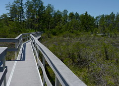 Boardwalk through Webb's Mill Bog (Dendroica cerulea) Tags: summer newjersey nj wetlands boardwalk bog fen oceancounty webbsmillbog manchestertownship greenwoodwma greenwoodwildlifemanagementarea