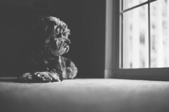 Monday Evening Relaxation (hartman.271) Tags: light portrait dog pet white black window photography 50mm mutt natural lifestyle indoor poodle aussiedoodle
