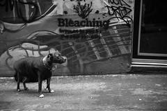 (Dhiren Adatia) Tags: blackandwhite dog monochrome animals graffiti melbourne patient laneway mansbestfriend photogenic animallovers melbournelaneways