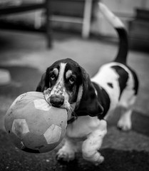 Puppy Playtime (davidjhumphries) Tags: portrait dog pet white playing black cute canon ball puppy 50mm mutt play f14 hound free droopy ears run whiskers basset 5d collar fetch mkii