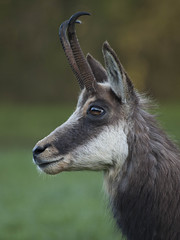 En éveil ***--+°-° (Titole) Tags: chamois wildlife horns titole nicolefaton regard gaze chèvre femelle thechallengefactory unanimouswinner challengeyouwinner cyunanimous storybookwinner