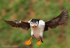 Atlantic Puffin (James Lees Photography) Tags: summer nature birds wildlife puffin pembrokeshire britishwildlife seabird wildlifetrust atlanticpuffin skomerisland skomer britishbirds