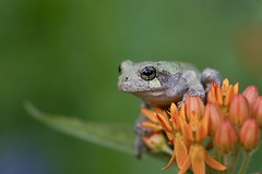 Waiting on some bugs~ (Connie Etter Photography) Tags: flowers orange macro closeup canon backyard indiana 100mm frog treefrog nationalgeographic butterflyweed 1dx