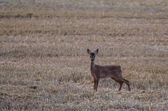Kitzbock (Der Gnurz) Tags: animal wildlife deer fawn roedeer reh tier kitz roebuck capreoluscapreolus rehkitz nikond5100 kitzbock