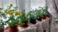Violas mixed on bedroom windowsill 14-06-2016 001 (D@viD_2.011) Tags: june bedroom windowsill 2016 violas