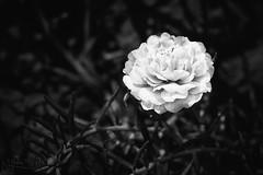 Silence (Kiss Midori) Tags: silence flower sad blackwhite