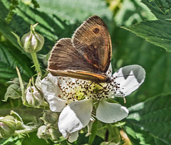 Meadow Brown (Alanchippyh) Tags: brown white black green leaves reflections lens gray dt 18270 graybrown butterflieflower sony77ii