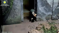 2016_07-02p (gkoo19681) Tags: nationalzoo beibei selfawareness mirrorplay ccncby
