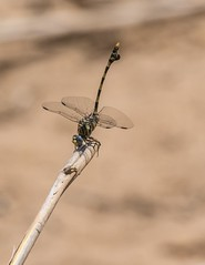 PGC_8392-20151020 (C&P_Pics) Tags: southafrica dragonfly za kwazulunatal pgc mkuze insectsandspiders nsumopan stluciapark southafrica2015