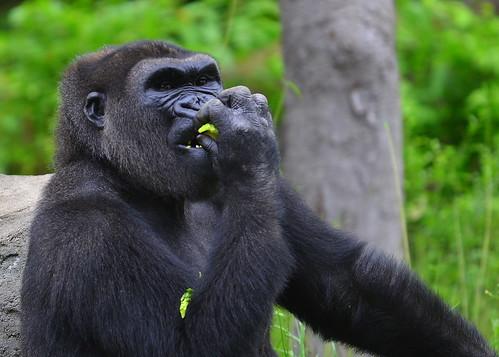 Gorilla Dallas Zoo