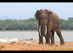Prince Charming (Sara-D) Tags: nature animals forest asia wildlife sl sri lanka species elephants srilanka ceylon endangered lk aliya maximus wildanimals southasia endangeredspecies elephasmaximus tusker sarad elephas elephasmaximusmaximus saranga wildelephants sarangadevadealwis sarangadeva