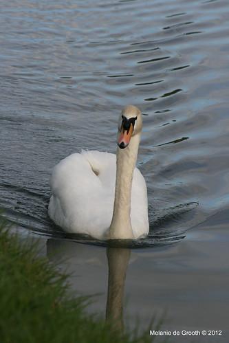 Male Swan 2
