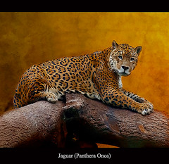 Jaguar (Panthera Onca) (Steve Wilson - classic view please) Tags: uk greatbritain brazil portrait england texture southamerica nature beautiful beauty rain animal gardens america forest cat garden mexico mammal zoo big amazon nikon rainforest feline cheshire britain wildlife south great central large conservation chester bigcat jungle tropical resting jaguar d200 predator captive panther textured largest captivity centralamerica carnivore upton onca chesterzoo panthera zoological zoologicalgarden zoologicalgardens pantheraonca nikond200 caughall