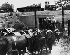 Rawhide Cattle (ConejoThruTheLens) Tags: california ranch cowboys cattle cows thousandoaks rawhide conejovalley 101freeway ranches westlakevillage ranchers 101highway northranch thousandoakslibrary edlawrence unitedstateshighway101 conejothroughthelens albertsonranch