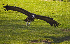 A Vulture on the wing (neilalderney123) Tags: bird flying wings landing vulture birdofprey