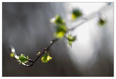 Rebirth 10 (leo.roos) Tags: flowers leaves spring minolta bokeh buds rebirth lente bloemen knoppen bladeren a900 darosa minolta8514d leoroos