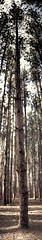 (skelseys) Tags: panorama tree pine forest woods row pines