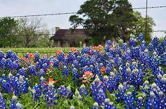 Texas Hill Country Bluebonnets and Cabin *Explored - Thanks everyone!* (Andrea Garza ~ AKA zerohdog) Tags: flowers fence spring cabin texas bluebonnet wildflowers hillcountry bluebonnets indianpaintbrush