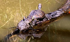 Three On a Log. (Picture Taker 2) Tags: reflection nature water beautiful closeup outdoors pond colorful pretty native turtle missouri upclose wildanimals almostanything