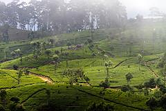 Picking-Tea-in-Sri-Lanka (For91days) Tags: tea plantation srilanka tee ghetto tamil slum haputale teapicker liption
