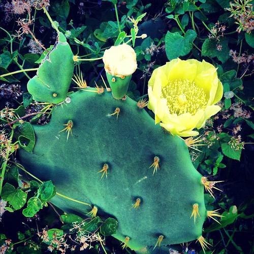 Flor do sertão