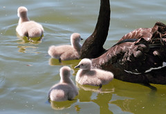 Black Swan Cygnets (sparkleshots (trying to catch up)) Tags: park black bird nature water canon swan soft wildlife sydney young cygnet australia explore nsw 7d 70300mm blackswan cygnusatratus centennialpark canonllens