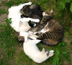 cats gang relax1 (Ranaet) Tags: white cute feet grass animal cat dark fur relax nose team kitten tail group gray gang band ears ground pack crew spotted relaxation heap horde repose striped snout mishmash