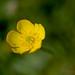 Bulbous_buttercup NottsWT (cpt Dom Walton)