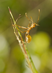 P4273957 (huskiilove) Tags: camera macro closeup insect photography leaf ant olympus e300