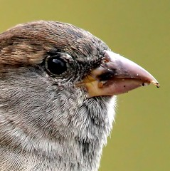 Did You MUS Me? (Ger Bosma) Tags: bird dutch europe european thenetherlands sparrow mus extremecloseup housesparrow passerdomesticus spatz huismus gorrincomn closeupdetail haussperling moineaudomestique extremedetail img40621cfilteredtwiceb