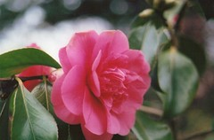 Pink Camellia (TailorMade:Art) Tags: park pink flowers plants plant film nature floral photography bush natural minolta camellia shrub shrubbery osterley minoltax300 blousy osterleyparkandmanorhouse