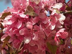 Blossom Devon (Cornishcarolin. Stupid busy!! xx) Tags: nature devon dartmoor aboutyou mamasbloomers