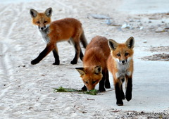 Getting Real Big........ (smiles7) Tags: nikon wildlife fox kits redfox naturesfinest