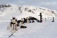 Siberian Huskies (Johan Assarsson) Tags: winter mountain snow trekking skiing sweden hiking lappland crosscountry lapland crosscountryskiing kebnekaise dogsled siberianhuskie singi kungsleden kingstrail singistugan