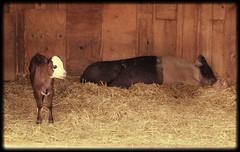 calf only 9 days old, born May 10th (f l a m i n g o) Tags: camera baby animal digital canon eos rebel pig photo picture calf hog