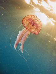 Jellyfish (Alex Bramwell) Tags: ocean blue sunset sea colour green water animal grancanaria spain jellyfish underwater floating atlantic colourful canaries canaryislands