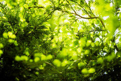 Greenery Days (moaan) Tags: life light greenleaves sunlight green digital 50mm dof bokeh may utata sprout metasequoia 2012 f12 glittering inlife ef50mmf12lusm canoneos5dmarkiii