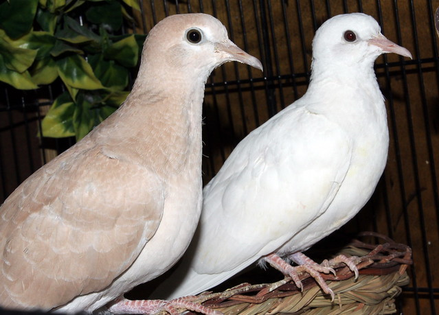 Young Doves, One Month Old.
