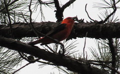 Scarlet Tanager-IMG_7789 (MPJinOKC) Tags: county wilderness mccurtain