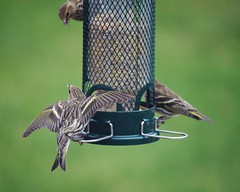 Pine Siskins (Sunset~Beauty) Tags: brown ontario canada green bird animal animals yellow canon eos rebel is wings backyard feathers ii efs f456 55250mm t1i