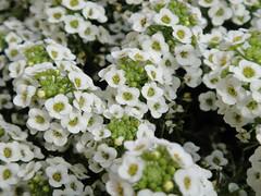 Sweet Alyssum (Sepehr Ehsani) Tags: flowers flower alyssum brassicaceae sweetalyssum lobulariamaritima
