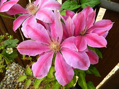 Pink Clematis (andijrae) Tags: pink flowers summer colour floral sunshine garden spring nikon natural south yorkshire clematis may sunny andrew bolton rae amateur andi barnsley dearne outdooes otherham