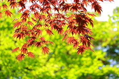 Maple leaves in spring (♥ Spice (^_^)) Tags: red color macro green leaves canon geotagged photography eos photo spring flickr image bokeh may picture 7d 日本 緑 litrato 2012 dahon larawan 春 写真 赤 葉っぱ tochigiprefecture カエデの葉 キャノン マクロ ボケ カラー gettyimagesjapan12q2